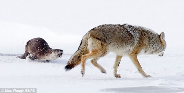 Coiote Correndo de uma Lontra