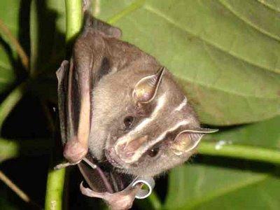 Morcegos e suas Curiosidades