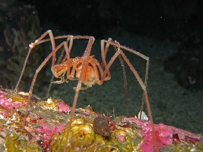 Aranhas bizarras do fundo dos mares