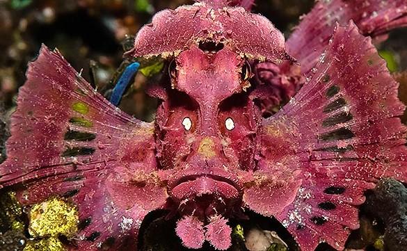 Peixe escorpião muito bizarro enontrado na Indonésia