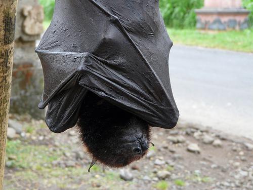 Veja o morcego gigante das Filipinas