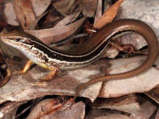 Nova espécie de lagarto parecido com serpente foi descoberta