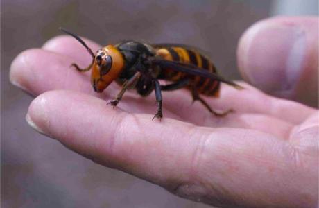 28 mortos e centenas de feridos por um enxame de vespas gigante na China