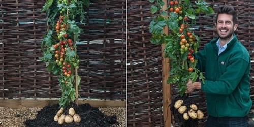 Incrível planta que produz tomate e batata