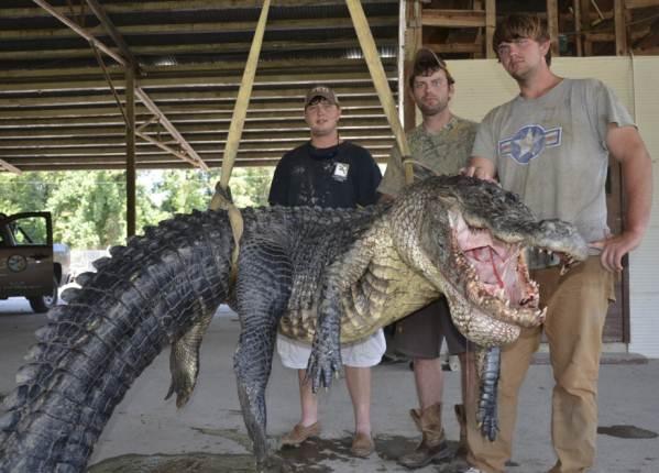 Recorde: Jacaré de 330 kg capturado nos EUA