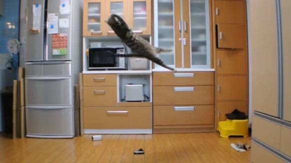 Gato com o salto mais alto do mundo surpreende com incríveis vídeos