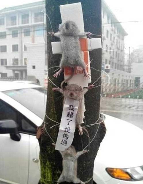 Ratos ladrões são encontrados crucificados em árvore