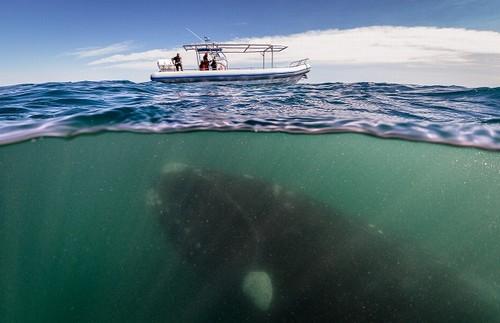 Baleia de 50 toneladas para embaixo de barco e assusta turistas