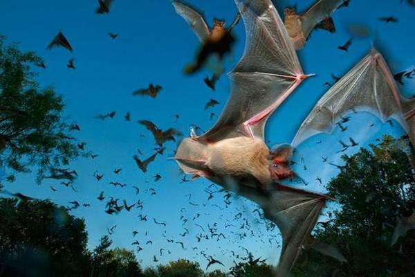 Está chovendo morcegos mortos na Austrália! A causa seria uma forte onda de calor