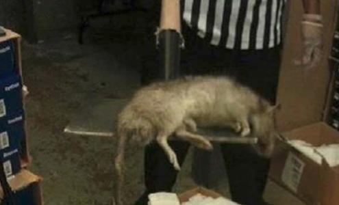 Ratos podem evoluir e ficar do tão grandes quanto as ovelhas