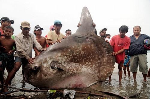 Peixe-lua de 1 tonelada é fisgado por pescadores na Indonésia