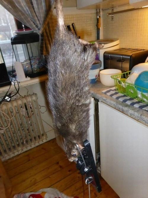Ratazana de 38 centímetros é capturada por família sueca