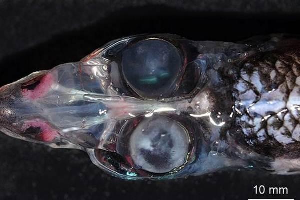 Conheça o peixe de quatro olhos que surpreendeu cientistas com sua visão de 360 graus