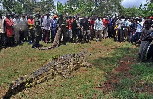 Crocodilo que teria comido 4 pescadores é capturado por agentes florestais