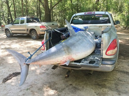 Pescadores batem recorde fisgando tubarão de 365 quilos