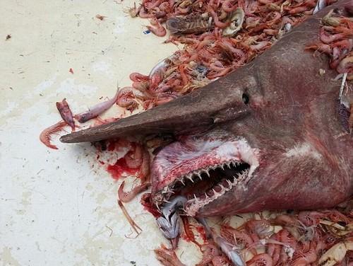 Raro tubarão-duende de 4,5 metros é fisgado por pescador
