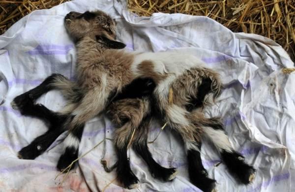 Cabra nasce com oito pernas na Croácia