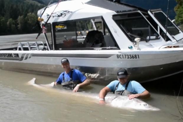 Peixe monstro de 3,5 metros e quase 400 quilos é fisgado por pai e filho