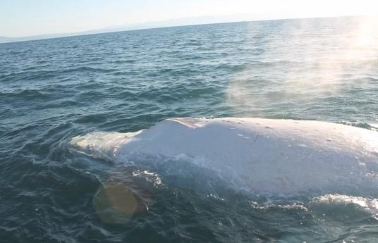 Baleia albina extremamente rara é vista pela primeira vez este ano