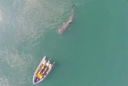 Drone captura imagens de enorme tubarão nadando ao lado de pequeno barco