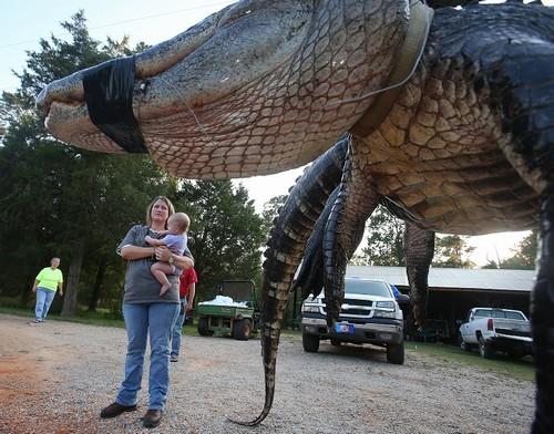 Família americana captura jacaré de 4,6 metros e 459 quilos e bate recorde