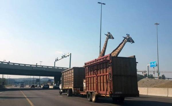 Girafa morre ao bater cabeça em viaduto durante transporte