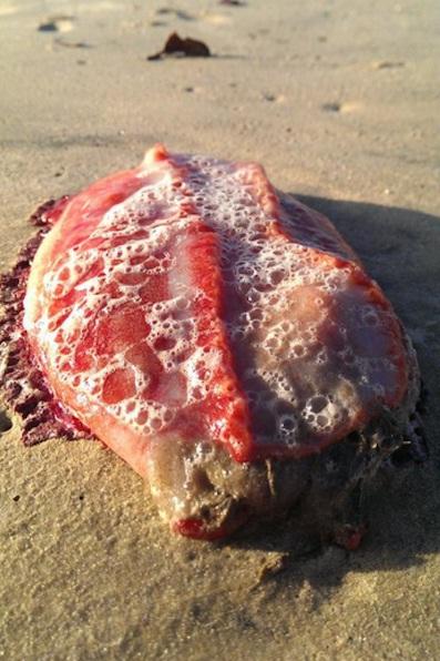 Misteriosa criatura de cor avermelhada é achada em praia da Austrália
