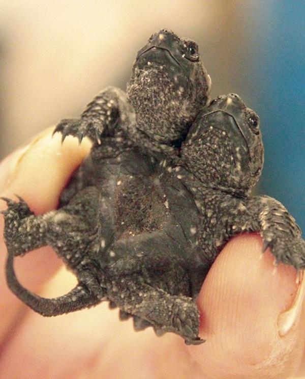 Tartaruga de duas cabeças nasce nos EUA
