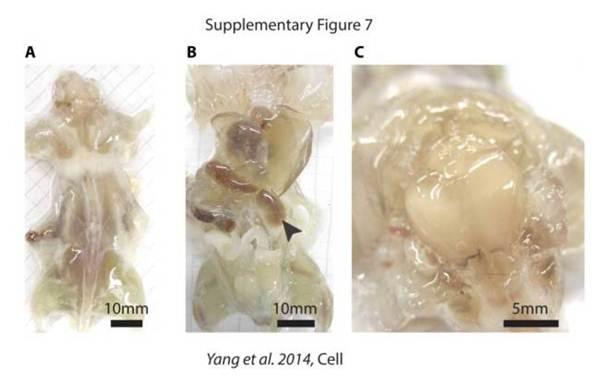 Cientistas desenvolvem ratos transparentes que podem ajudar na luta contra o câncer