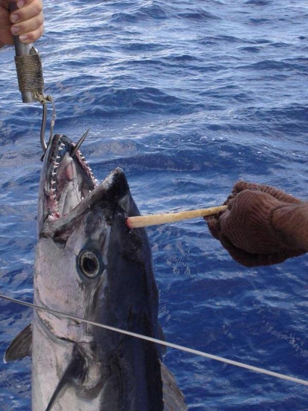 Atum unicórnio é fisgado por pescador na Austrália
