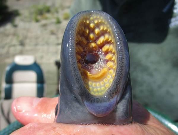 Estranha criatura é encontrada grudada em peixe em lago nos EUA