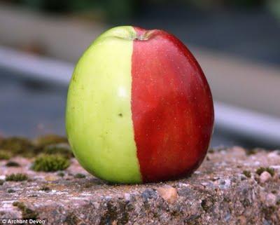 Homem encontra maçã de duas cores