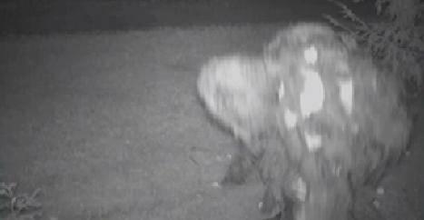 Criatura estranha é filmada devorando maçãs em fazenda nos EUA