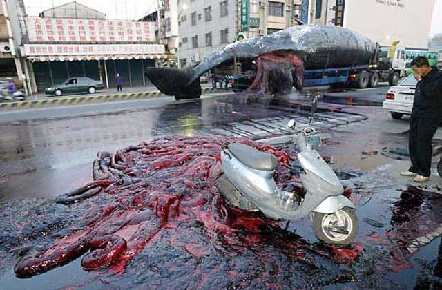 Baleia explode durante transporte para centro de pesquisa