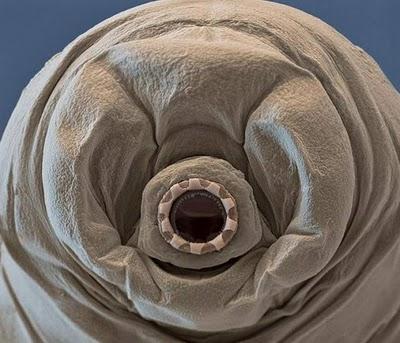 Tardigrada conheça uma das criaturas mais incríveis da Terra