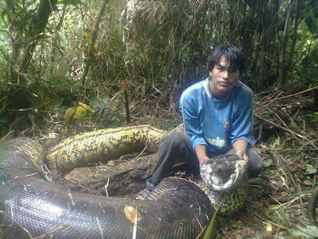 Anaconda gigante que teria comido três pescadores é morta na Bolívia