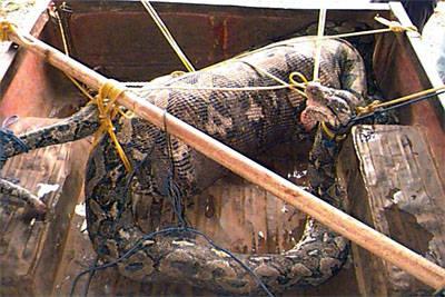 Homem engolido por cobra